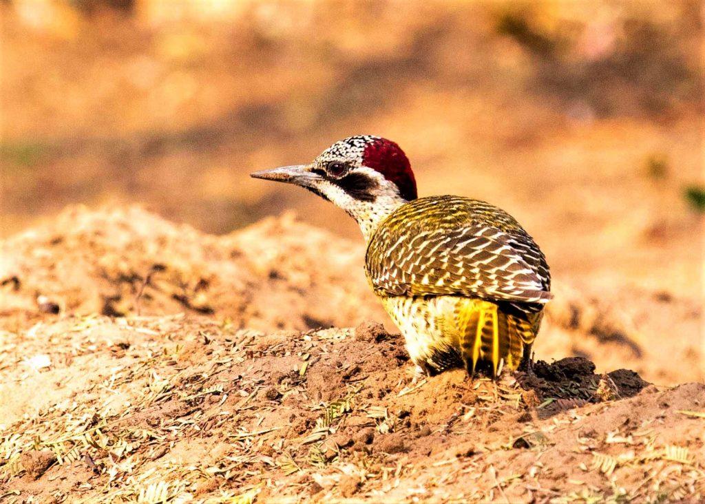 bearde-woodpecker-male-western-botswana